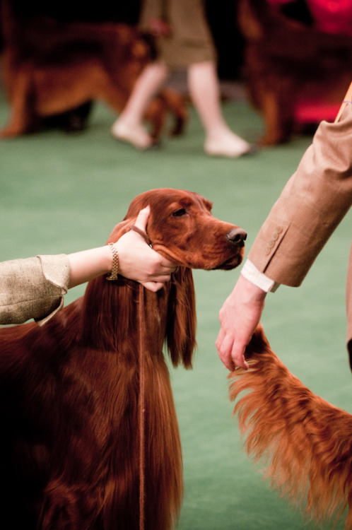 A judge carefully examines a gorgeous example of an Irish Setter.