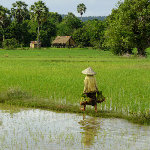 Working in the green paddy fields of Laos