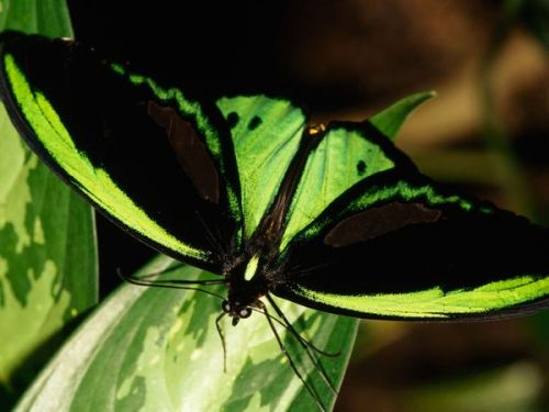 Birdwing Butterfly Photograph by Nicole DuplaixAustralia's largest butterfly, the birdwing (Ornithoptera priamus) blends into a green leaf. Female birdwings can have a wingspan of nearly 8 inches (20 centimeters).  Download Wallpaper (1280 x 1024 pixels)