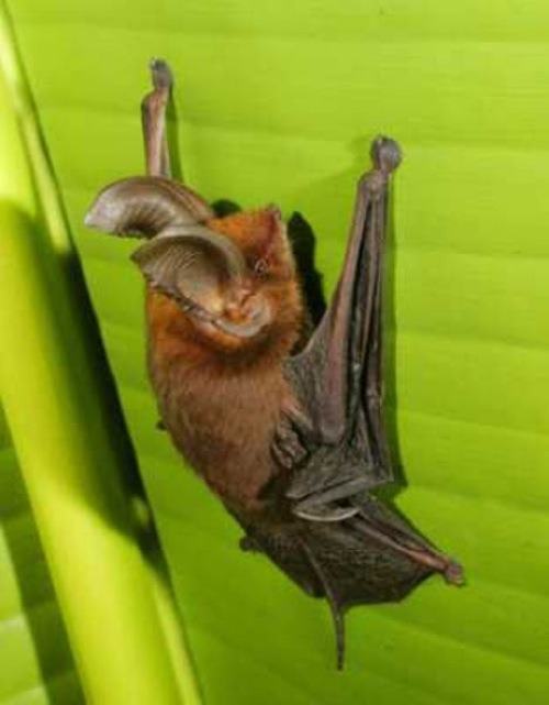 The Madagascar Sucker-footed Bat, Old World Sucker-footed Bat, or simply Sucker-footed Bat (Myzopoda aurita) is a species of bat in the family Myzopodidae. It is named for the presence of small suction cups on its wrists and ankles. They roost inside the rolled leaves of palm trees, using their suckers to attach themselves to the smooth surface. Later scientists discovered that this species doesn't use suction to attach themselves to roost sites, but instead uses a form of wet adhesion by secreting a body fluid at their pads. (Wiki.)