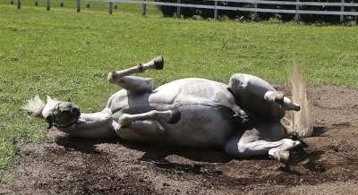 I've won the Kentucky Derby AND the Dubai World Cup, I deserve a good roll! 1997 Derby/1998 Dubai winner Silver Charm (Silver Buck x Bonnie's Poker, by Poker) enjoys himself in Japan.