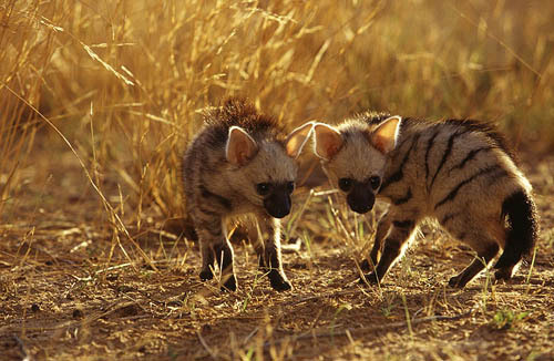 Baby Striped Hyenas