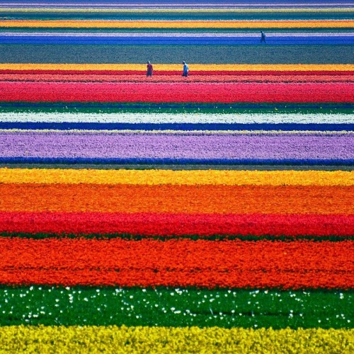 Flower field in the Netherlands
