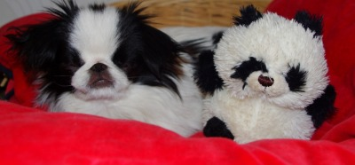 animalswithstuffedanimals:  Cecil St.Cloud the Japanese Chin Pup and his Look-a-like bear Submitted by Nicola Gibbons