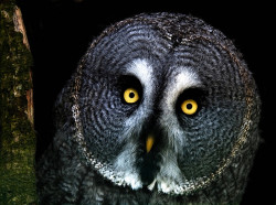 petitpoulailler:  bachsweets: Great grey owl in the woods at night by hawkgenes on Flickr