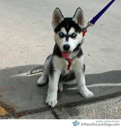 Jeffrey Beall Siberian Husky puppy on a walk stops to take a picture Original Article