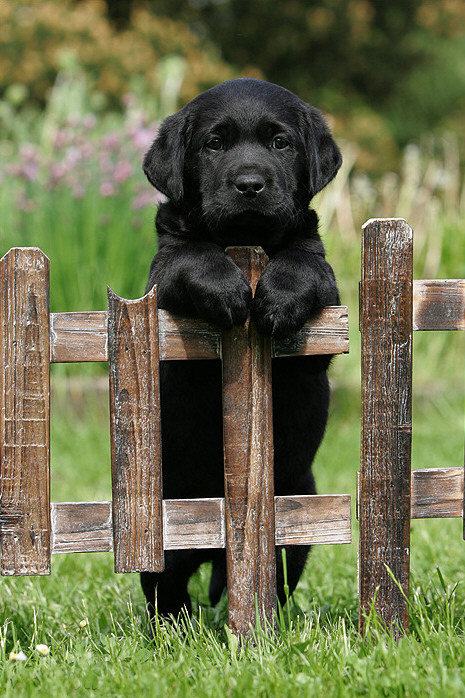 awesomelyyawkward:  Want!   beautiful black lab! aaah!