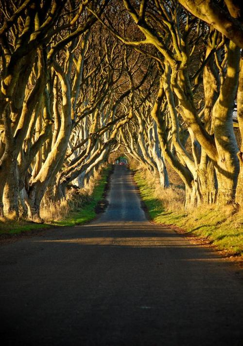 sunsurfer:  The Dark Hedges, Bregagh Road, Northern Ireland  photo by amyswear