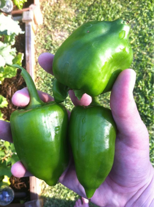 What my garden gave me for my birthday….oddly shaped bell peppers. Fun way to turn 30!