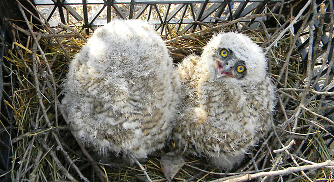 Two baby great horned owls were rescued  today by volunteers near Grand Junction, Colo., after their nest fell about 60 feet. Jordan Steffen reports:  A volunteer Wildlife Rescue Team for the  Colorado Division of Wildlife received a call from two women at the  Audubon-Ela Sanctuary who had been watching the owls' nest, concerned  that the nest was too heavy for tree it was in, said volunteer Steve  Bouricius.  Photo above courtesy of Eileen Cunningham, click for more.