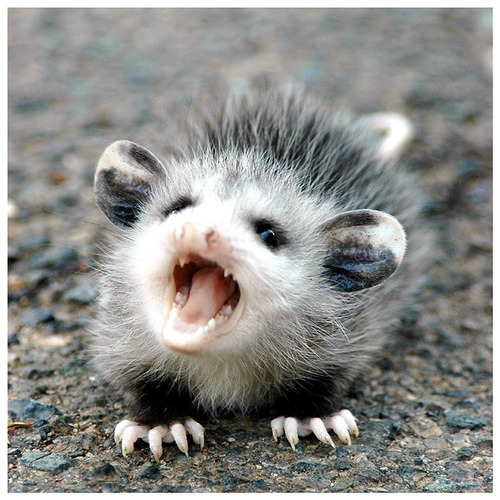 victoriad93:  day 42 - baby possum (by Mrs Rachel)