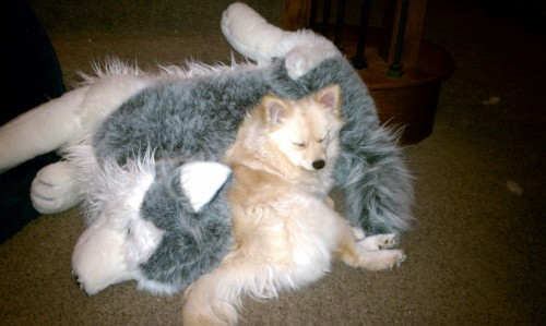 Pomeranian pup with her best friend. Submitted by johnP
