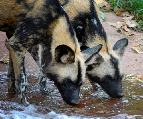 crookedindifference:  Endangered African Wild Dogs