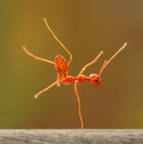 archiemcphee:  A fire ant appears to be pulling off a one-handed breakdance move on a log. The insect held the pose - known as a hand freeze in breakdancing circles - for 30 seconds. Robertus Agung Sudiatmokos photographed the unusual sight using a macro lens in the village of Cibinong, Indonesia. [via TYWKIWDBI]