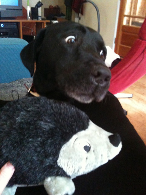 animalswithstuffedanimals:  OMG! Hedgehog, look out!!!! Submitted by Adrienne B.
