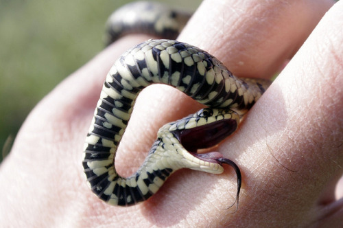 moltdance:  grass snakes are not venomous and they rarely bite, one of their only defense mechanisms is to feign death and go completely limp. it's claimed that they may also secrete blood from the mouth and nose while playing dead.