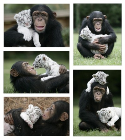 rolosiete:  hellocute:  Monkey and tiger! Best of friends!  Los monos si que son lo mejor!!