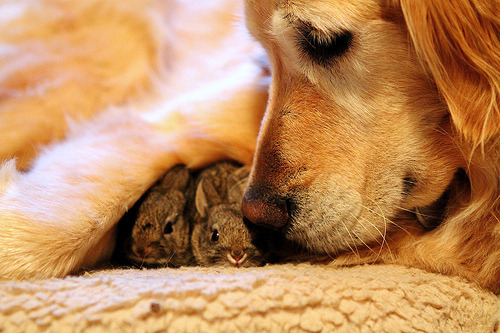 loveyourchaos:  Koa's Bunnies-Our Golden thinks these are her puppies, 129/365 (by Moms Who Click)  awwwwwwww