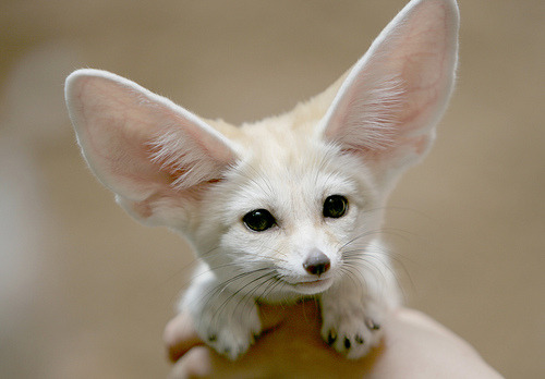 theanimalblog: Fennec fox (by floridapfe)  Submitted by                                                                                                                       cristienne Click to follow this blog, you will be so glad you did!