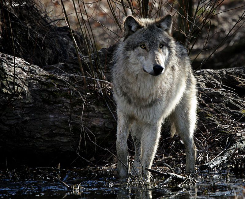 llbwwb:  swamp wolf 2 by *wolveskeeper