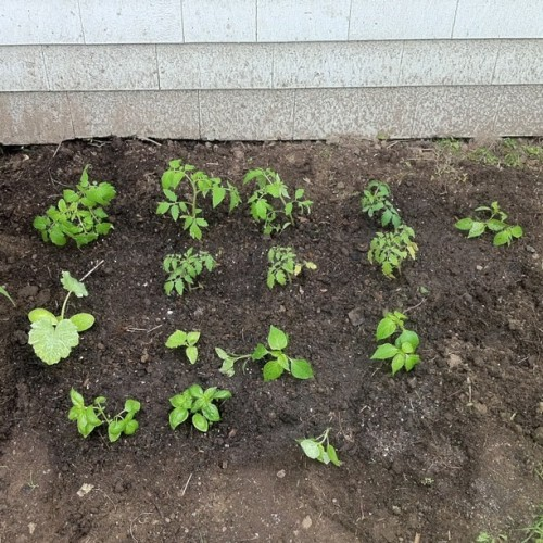 Garden planted! Tomatoes, peppers, cucumber, zucchini, and basil (Taken with Instagram at 37 Caswell)