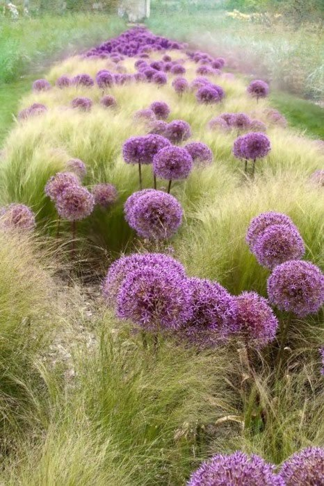 Stipa tenuissima and alliums magical path plantsaretakingover:   justcallmegrace: