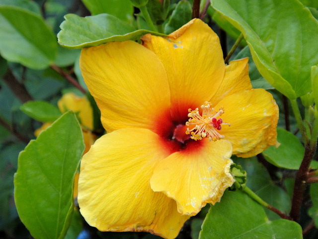 "A bright Hibiscus was … on Flickr. Each year at this time, I anxiously await the return of my hummingbirds. My garden seems so extra special when they take up residence. This morning, as I awoke, the first thing I saw was a hummingbird ""dining"" on my hibiscus. I have quite a few hibiscus but my treasures are my fifteen and twenty-year old plants … which have to be taken in each year … And the hummingbirds seem to agree with me!!!"