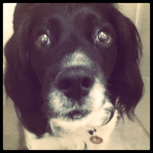 eimmas:  Buster, my lovely #springer #spaniel (Taken with instagram)