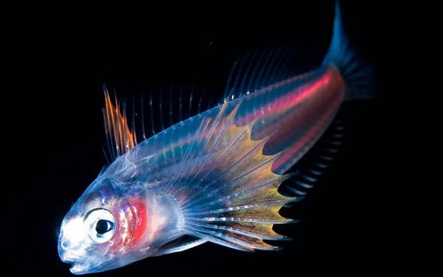 benthos:  Bioluminescent fish