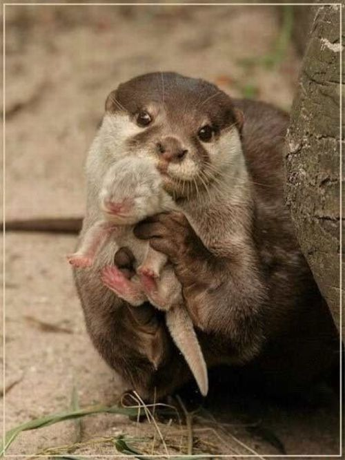 otter rendition of the Lion King