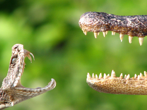Viper vs. Crocodile