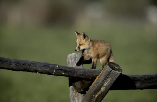 llbwwb:  Red Fox Kit, photo by Henry Holdsworth  ohhhh my god