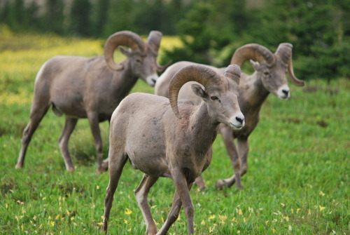 Bighorn Sheep at Hidden Lake