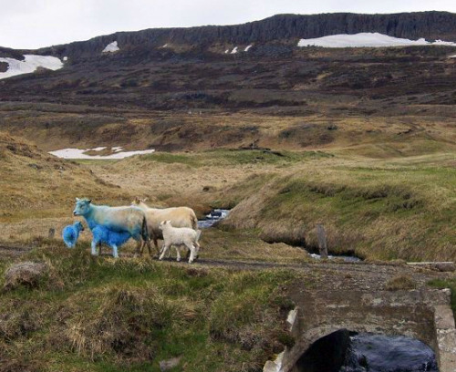 Blue Sheep in Iceland Drivers in Iceland have often been startled by sheep running across the road. Sheep run free in Iceland during the summer months often causing some havoc on the roads. However drivers have been slightly more startled by blue sheep in Steingrímsfjörður recently. Are these elf sheep or political sheep? Sheep are the main product of most Icelandic farms and lamb meat the traditional Icelandic dinner. Farmers have come up with all sorts of tricks in their sheep farming. One problem that sometimes occurs is that the mother sheep denies her lamb, especially if she had two. Somehow feeling that two is one too many she'll deny one of them milk. Guðbrandur Sverrisson farmer at Bassastaðir has come up with a solution. Sheep know their lambs from the smell only and are color blind. Somehow he discovered that if he spray paints the whole lamb, he is able to mask its scent. The sheep no longer knows which lamb is which and lets them both drink. He says the paint does no harm and washes off in the first few months out in the mountains. Of course his neighbors are accusing him of supporting the blue flagged Sjálfstæðisflokkur (Independence Party) political party. To counter this he's painting some lambs green, the color of Framsóknarflokkurinn (Farmers Party).