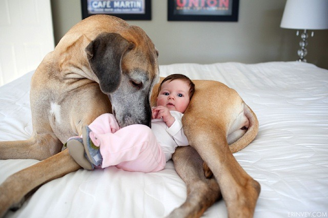 kari-shma:  (via The Great Dane Who Became an Older Sister - My Modern Metropolis) Click through for the story and the rest of the pictures. Officially dying of cuteness.