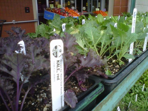 Kale in the wild (aka, plant starts from Rent's Due Ranch in Stanwood, Wash.). For the freshest greens around, grow your own!