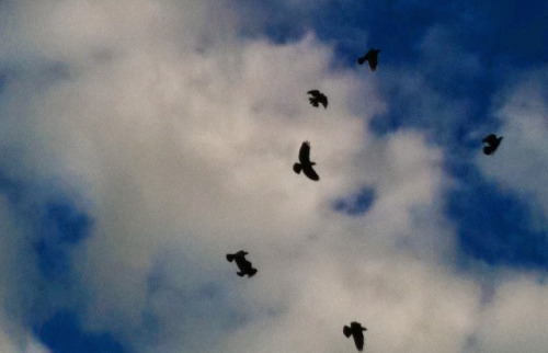 Corvids have always written collective dot-dash sky-code. They are past scornfully enjoying the obliviousness of human observers. They no longer shape out rude slogans or rococo aerial slanders. No provocation ever provoked. There is a mournful air to their more recent, equally unread, messages.
