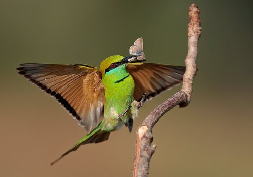 GREEN BEE EATER (Merops orientalis) No Photo credit listed The green bee-eater (also known as the little green bee-eater) is a small species of bee-eater bird found throughout parts of Africa and Asia. The green bee-eater is one of 26 species of bee-eater, a group of birds that a primarily found throughout Africa and in parts of Asia and the  Middle East. The green bee-eater is an easily distinguishable bird due to it's bright green plumage and attractive long tail-feathers. The green bee-eater also has a long, but sharp and narrow black beak which is perfectly designed for catching flying insects. The green  bee-eater is known to be a slow starter in the mornings and may be found  huddled next to one another with their bills tucked in their backs well  after sunrise. The green bee-eater is also known to sand-bathe more  frequently than other bee-eater species and will sometimes bathe in  water by dipping into water in flight. Green bee-eaters are usually seen  in small groups and often roost communally in large numbers of up to  300 birds. Fact Source: http://true-wildlife.blogspot.com/2010/11/green-bee-eater.html Other photos you may enjoy: Rainbow Bee Eater in flight Group of European Bee Eaters Rainbow Bee Eater Portrait