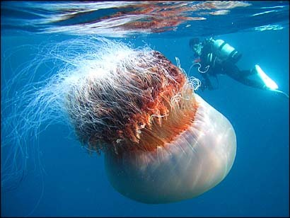 The lion's mane jellyfish (Cyanea capillata) is the largest known species of jellyfish. Its range is confined to cold, boreal waters of the Arctic, northern Atlantic, and northern Pacific Oceans, seldom found farther south than 42°N latitude. The largest recorded specimen found, washed up on the shore of Massachusetts Bay in 1870, had a bell (body) with a diameter of 7 feet 6 inches (2.29 m) and tentacles 120 feet (37 m) long.