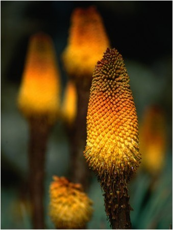 kingcreative:  (via Red Hot Poker Plant From The Sanetti Plateau., Bale Mountains NP, Oromia, Ethiopia - Ariadne Van Zandbergen - Posters, Affiches d'Art)
