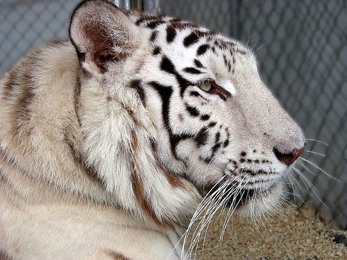 animantis:  White Tiger Profile (by FuzzyButt)