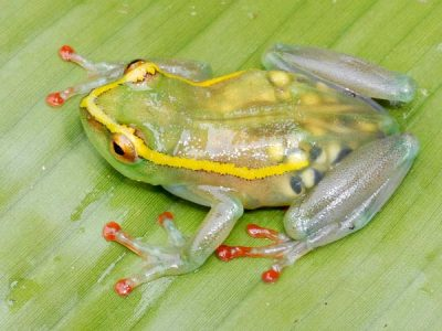 "Pictures: See-Through Frog, Other ""Lost"" Species Found 