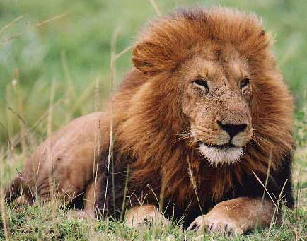 I like lions. I wish I had one as a pet.