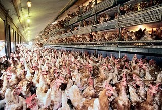 People call this cage free, as if they are treating chickens so much better than cramming them into cages. The chickens are still in overcrowded areas, still breath faeces and are around death as chicken continue to die because they have no room to move, still have their beaks clipped, and are still full of hormones and antibiotics. Is this what we want when we pay more for eggs from chickens that we think are looked after?