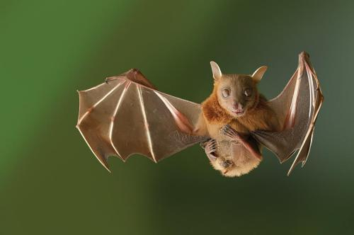 Bat Mid-Flight