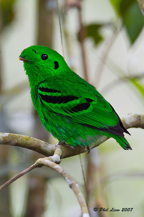 "LESSER GREEN BROADBILL (Calyptomena caudacuta) ©Phil Liew - 996sps By Request for ""habitat of the green broadbill"" (there's also an African Green Broadbill in case this is the wrong bird :) 14 - 17cm. A plump, green bird with a short bill and a short tail.  Iridiscent green plumage   Yellow spot anteriorly above eye   Narrow pale eyering   Black spot behind ear-coverts   Broad black bars and patches on wing   Forehead tuft almost covers bill  Females are paler green, lack black markings and have a less pronounced forehead tuft. Juveniles resemble females. Found from southern Burma south to southwest Thailand, the Malay Peninsula, Sumatra, Borneo and adjacent islands. Locally common. Found in understorey and lower levels of rainforest and mixed  dipterocarp forest. Also found in overgrown plantations, rubber estates,  cocoa plantations and timber plantations close to forest. Occurs mostly in lowlands. Feeds on fruit, takes sometimes also invertebrates, particulary insects. A resident species with some movements related to seasonality of fruiting trees. Fact Source: http://www.birdforum.net/opus/Lesser_Green_Broadbill Other Photos you may like: Lesser Green Broadbill Black and Red Broadbills  Resplendent Quetzel"
