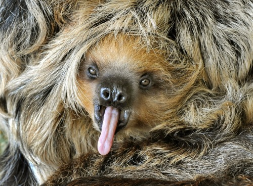 squee! urlesque:  suitep:  Eight months old baby sloth Camillo yawns at the zoo in Halle, eastern Germany, on Thursday, May 17. In the wild, sloths live mainly in tropical rainforests of Central and South America. With their glorious hairdos.  This.