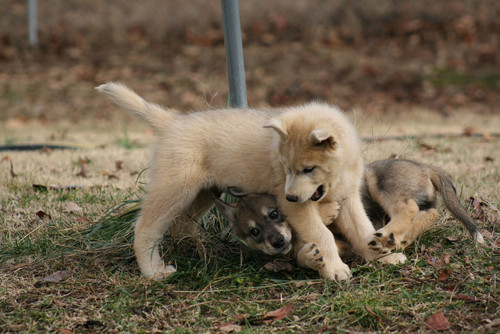 Wolf cubs playing around.