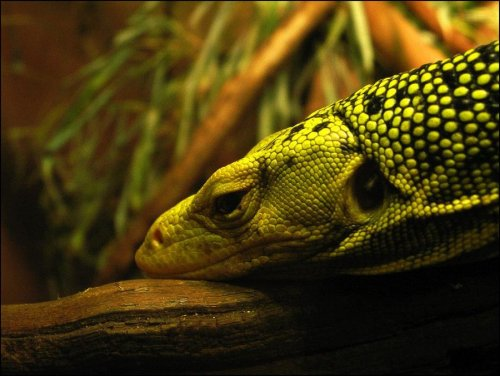 Quince Monitor by ~omnoms