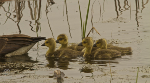 What goslings are thinking: Mom, please don't toot…please don't toot…please don't toot…
